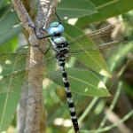 Anax immaculifrons - Indische Königslibelle adultes ♂ 14.7.2015, Mavrocolympos, CY